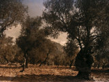 Hillsides of Majorca Offer a Place for the Olive Trees to Grow Photographic Print by Gervais Courtellemont