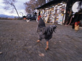 Rooster Running Through His Barnyard Photographic Print by Kate Thompson