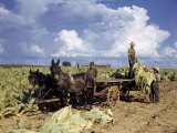 Tobacco Farmers Harvest their Crops Photographic Print by Volkmar K. Wentzel
