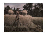 Balinese Man Carries Harvested Rice Sheaves on His Shoulder Photographic Print by Franklin Price Knott