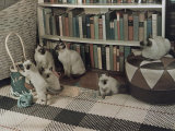 Adult Siamese Cats Watch as their Young Play with Yarn Photographic Print by Willard Culver