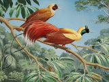 Male and Female Red Birds of Paradise Perch on a Tree Branch Photographic Print by Walter Weber