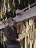Tobacco Farmer Inspects His Crop Photographic Print by B. Anthony Stewart