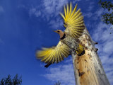 Northern Flicker Takes Flight Out of Nesting Hole Photographic Print by Michael S. Quinton