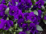 Close Up of Purple Pansy Flowers in a Garden Photographic Print by Hannele Lahti