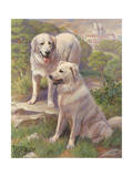 Kuvasz Dogs are Used as Watchdogs Photographic Print
