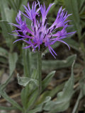 Centaurea Triumfetti, Squarrose Knapweed, or Triumfetti's Cornflower, Photographic Print