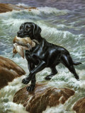 Labrador Retriever Climbs from Surf with Dead Duck in its Jaws Photographic Print by Walter Weber