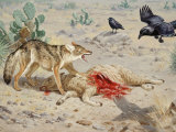 Coyote Snarls to Protect its Meal of Dead Sheep from Scavenger Ravens Photographic Print by Walter Weber