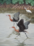 Reddish Egrets Hunting Fish Run Past a Rare White-Phase Reddish Egret Photographic Print by Walter Weber