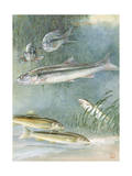 Artwork of Sacramento Pike (Top), and Sacramento Sucker (Bottom) Photographic Print by Hashime Murayama