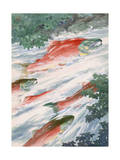 Art of Red Salmon Migrating to Spawning Grounds Photographic Print by Hashime Murayama
