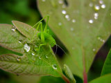 Bright Green Katydid Rests Between Raindrops on a Sassafras Leaf Photographic Print by  White & Petteway