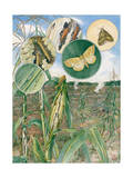 Painting of the Life Cycle of European Corn Borers Photographic Print by Hashime Murayama