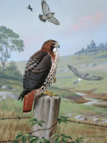 Red-Tailed Hawk Sits on Fence, Kingbird Chases Hawk Near Marsh Hawk Photographic Print by Walter Weber