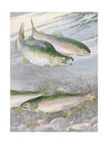 Painting of Pink Salmon at their Nest, with Typical Hump-Backed Male Photographic Print by Hashime Murayama