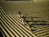 Men Spread Coffee Beans in Furrows to Dry in the Sun Photographic Print by Luis Marden