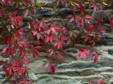 Vine with Red Leaves Clings to a Stone Wall in Middleburg, Virginia Photographic Print by O. Louis Mazzatenta