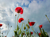 Red Poppies Backlit by the Afternoon Sun in a Cloudy Sky Photographic Print by White & Petteway