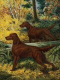Two Irish Setters Stand Alertly in Forest Near a Hunter Photographic Print by Walter Weber
