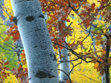 Brilliant Colors Make Up the Leaves in This Grove of Aspen Trees Photographic Print by Charles Kogod
