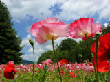 Pink Poppy Petals Shine Above a Field of Poppies in the Afternoon Sun Photographic Print by  White & Petteway