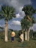 Yarey, or Hat Palms, are Used for Weaving into Large Headpieces Photographic Print by Edwin L. Wisherd