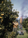 Oil Heaters are Used to Battle Frost in California's Citrus Groves Photographic Print by B. Anthony Stewart