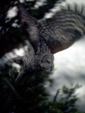 Great Gray Owl Takes Flight in Yellowstone National Park, Wyoming Photographic Print by Michael S. Quinton