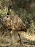Emu Proudly Displays it&#39;s Breast Feathers in Bush Land Photographic Print by Jason Edwards