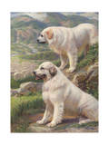 Two Great Pyrenees Dogs Guard a Flock of Sheep Photographic Print