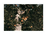 Girl Collects Tangerines in the Salt River Valley Photographic Print by Clifton R. Adams