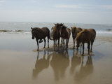 Wild Horses on the Beach in Assateague, Maryland Photographic Print by Stacy Gold