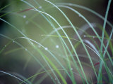 Raindrops Cling to the Stems of Saw-Sedge Grass, a Gahnia Species Photographic Print by Jason Edwards