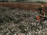 Woman Sits in a Field Full of Flowers and Sweet Peas Photographic Print by Charles Martin
