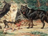 Gray and Black Wolves Interbreed and Raise their Pups in Alaskan Cave Photographic Print by Walter Weber