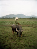 Farmer Sitting on His Water Buffalo in a Farm in Vietnam Photographic Print by  xPacifica