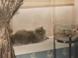 Blue Persian Cat Stares Intensely at Goldfish in a Bowl Photographic Print by Willard Culver