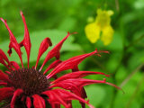 Close Up of Red Bee-Balm Flower, Pale Jewelweed Is Behind Photographic Print by  White & Petteway