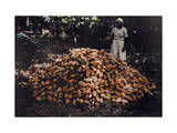 Women Gathers Cacao Plant for Seeds of Chocolate and Cocoa to Sell Photographic Print by Jacob Gayer