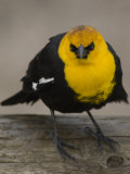 Portrait of a Yellow-Headed Blackbird Photographic Print by William Allen