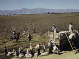 Mexican Cotton Pickers Work in the Fields Photographic Print by Willard Culver