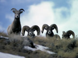 Bighorn Rams Peer over the Ridge at Photographer Photographic Print by Michael S. Quinton