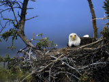 Bald Eagle Sits on its Nest in Alaska Photographic Print by Michael S. Quinton