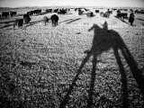 Round Up on the Reservoir Ranch in Big Piney, Wyoming Photographic Print by Drew Rush