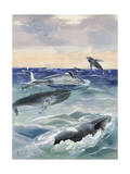 Mother Humpback Whale Nurses Her Calf While on Her Side Giclee Print by Else Bostelmann