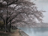 People Admire the Japanese Cherry Trees Along the Tidal Basin Photographic Print by Clifton R. Adams