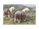 Portrait of Old English Sheepdogs Guarding a Flock of Sheep Photographic Print