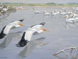American White Pelicans Fly Low over Water Near Other Pelicans Photographic Print by Walter Weber