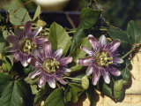Spanish Priests Called This Flower Passionflower Photographic Print by Edwin L. Wisherd